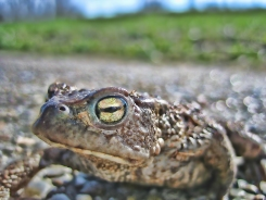 HDR Frosch